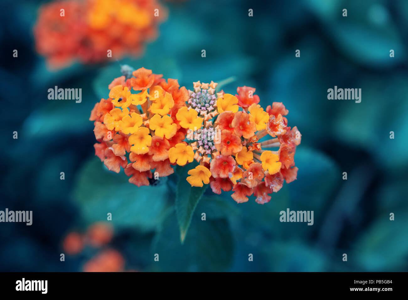 Beautiful fairy dreamy magic red yellow orange flower lantana camara on green blue blurry background, toned with instagram filters in retro vintage st Stock Photo