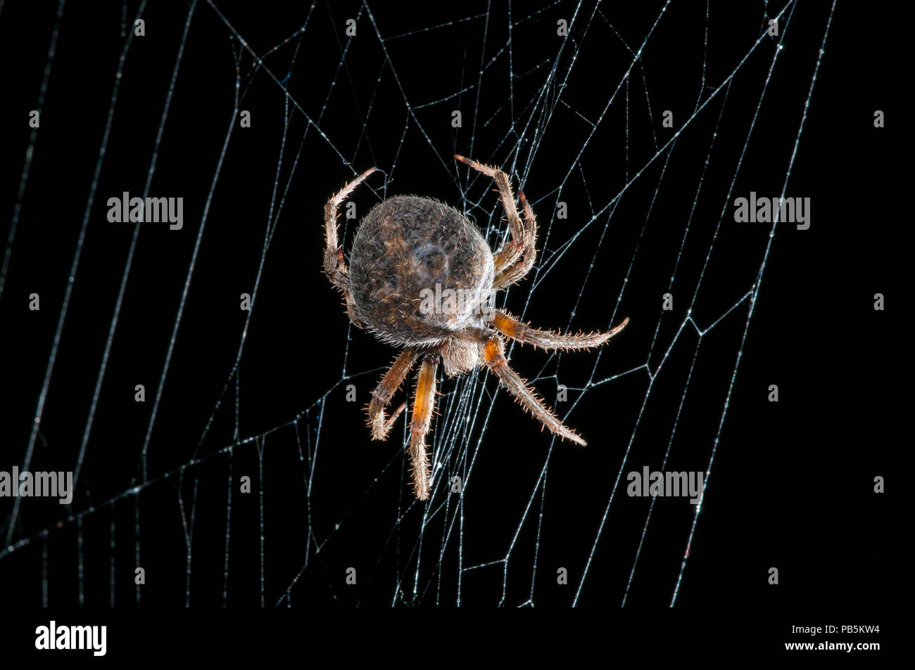 Leavenworth, Kansas. Spotted Orb Weaver spider { Neoscona crucifera } in web at night. - Stock Image