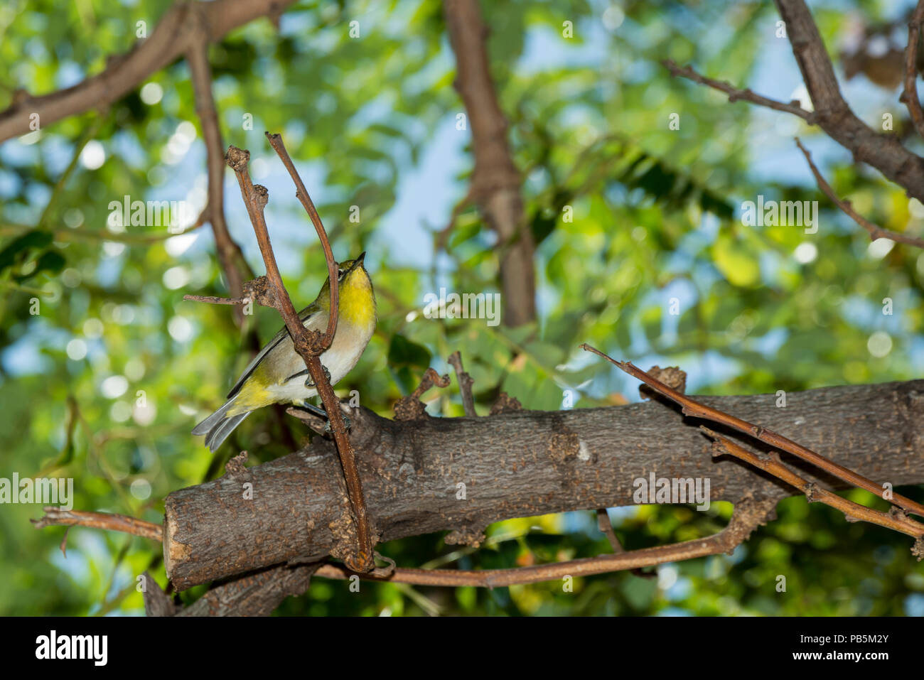Maui, Hawaii. Japanese white-eye, Zosterops japonicus perched in a tree. - Stock Image