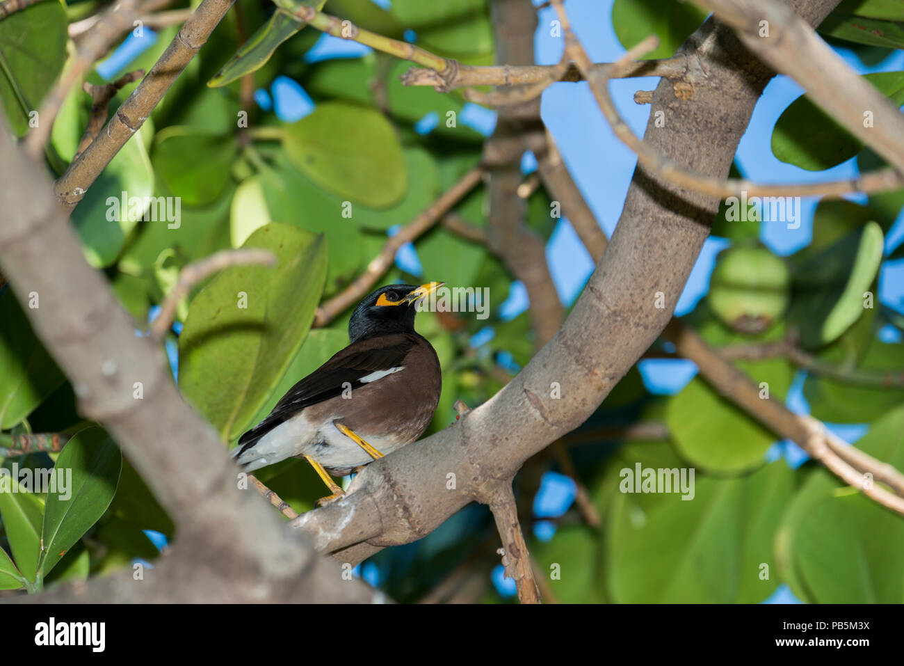 Maui, Hawaii.  Common myna,  Acridotheres tristis perched in a tree. - Stock Image