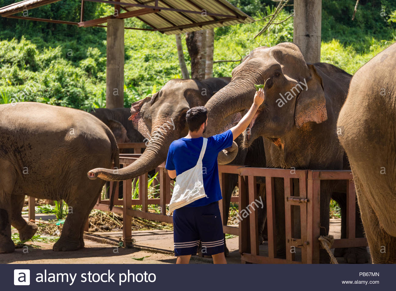 Young man feeds elephants with bananas in a sanctuary in the jungle of Chiang Mai in Thailand - Stock Image