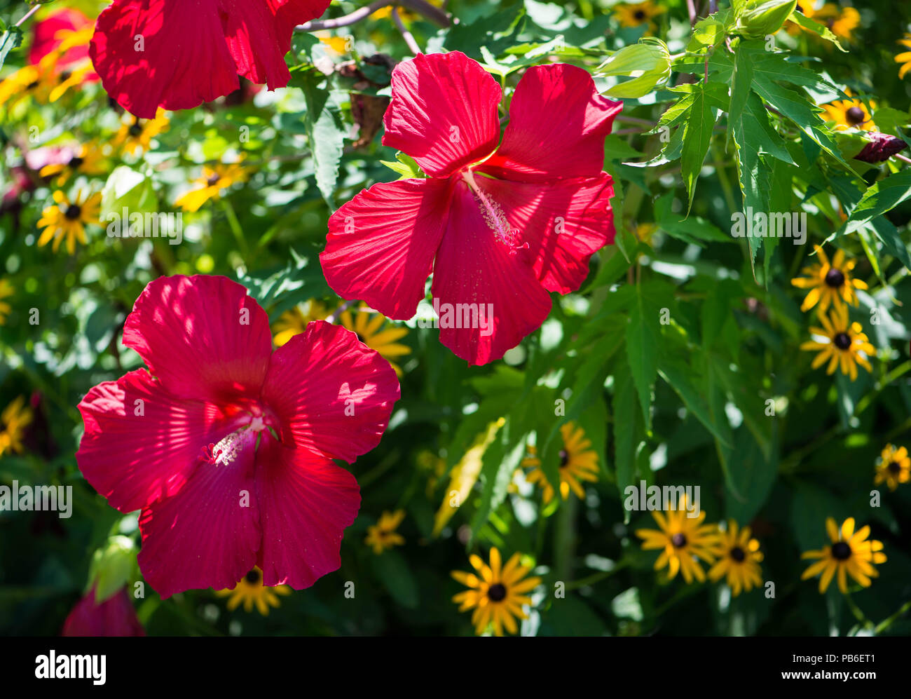 Hibiscus flowers in bloom with yellow daisies in the background hibiscus flowers in bloom with yellow daisies in the background izmirmasajfo