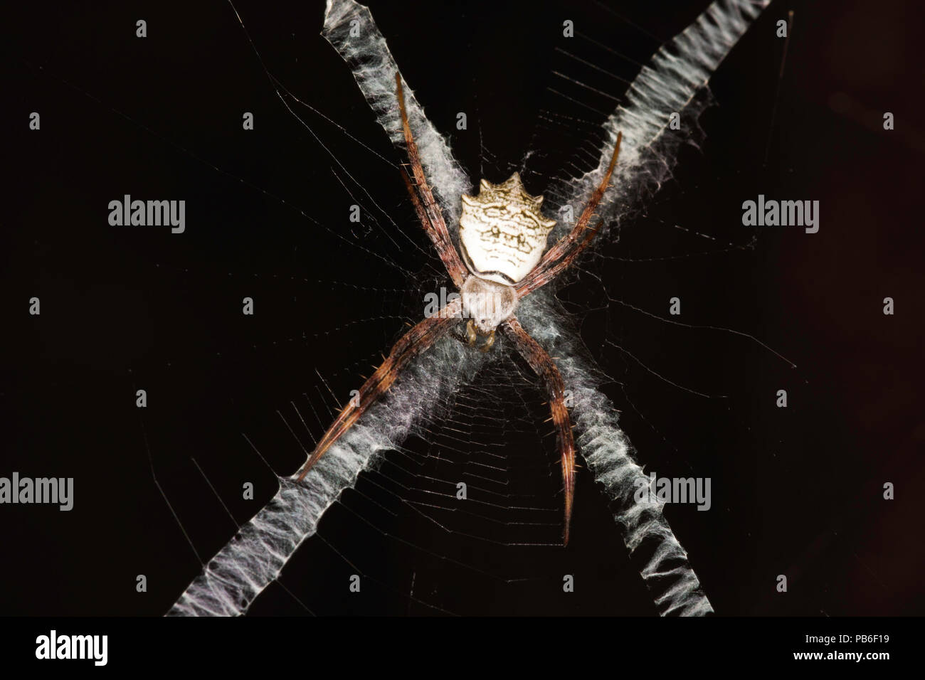 A Banded Orb-Web Spider (argiope flavipalpis) Hiding On Its Webs 'X' Shape Spun Bands - Stock Image