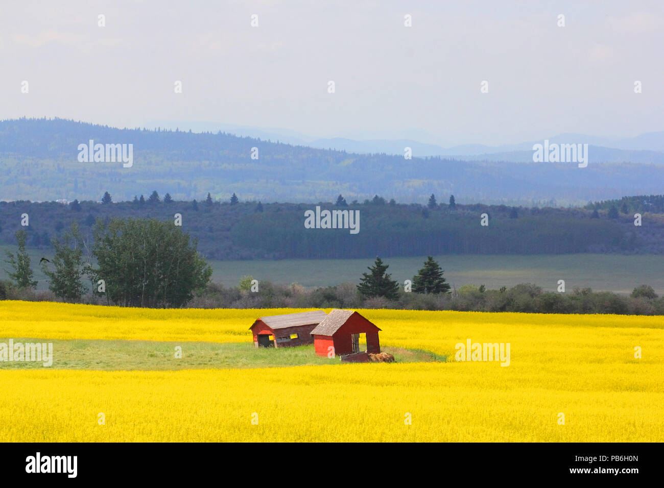 Field of canola and old red grain bins and the foothills of the Canadain Rockies - Stock Image