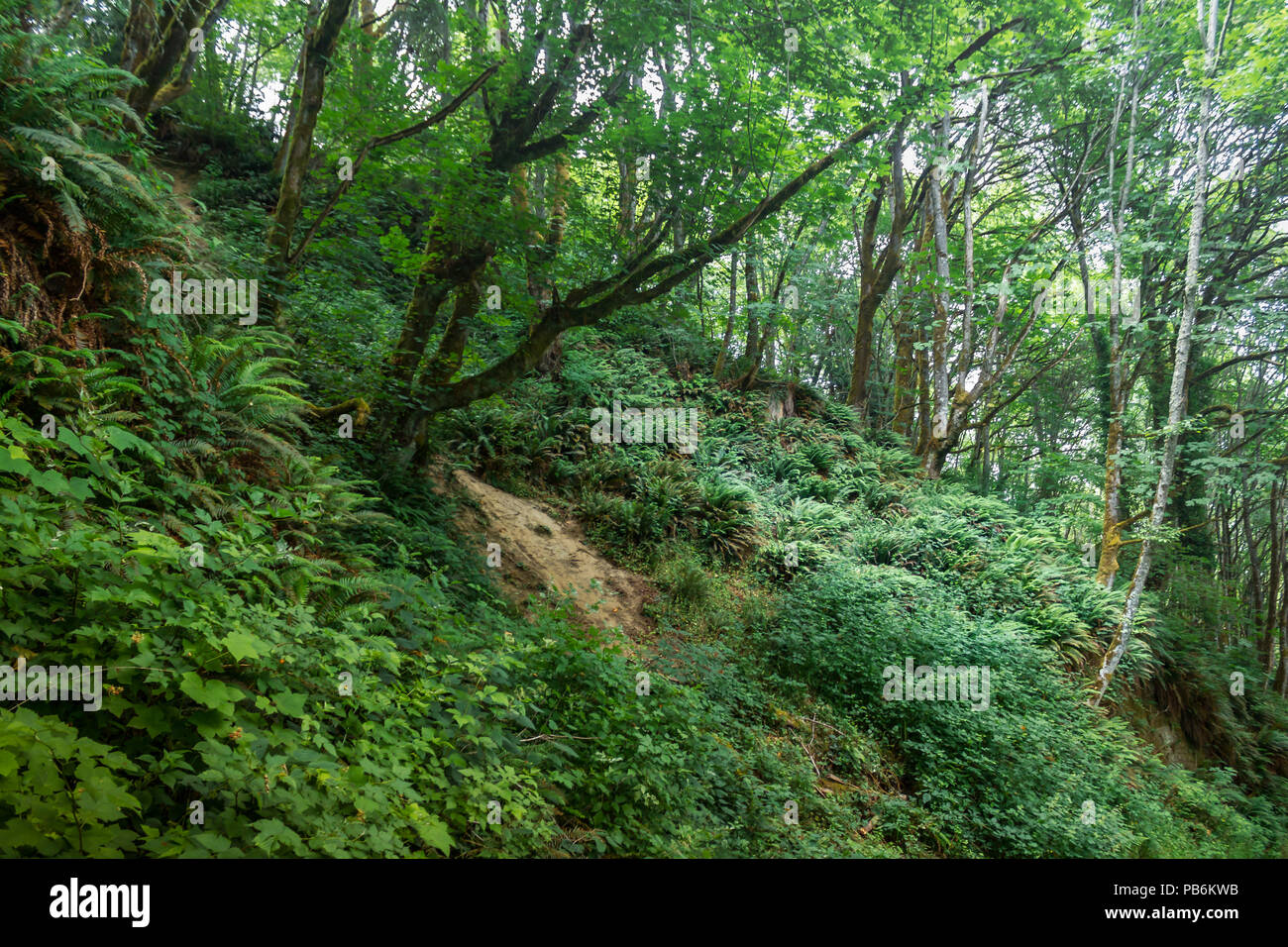 dense green vegitation throughought a forest with tall mossy trees - Stock Image
