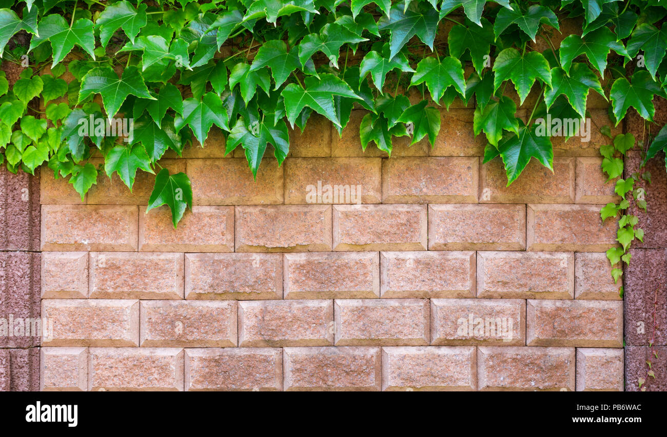 Wine leaves draped over a bright mediterran stone wall. - Stock Image