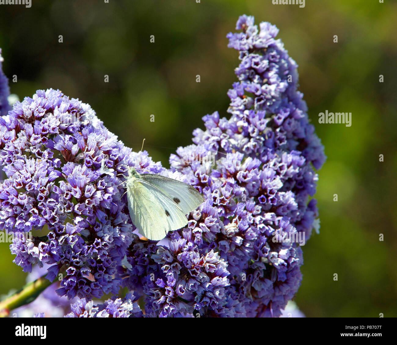 Cabbage white butterfly on purple ceanothus concha flowers on a cabbage white butterfly on purple ceanothus concha flowers on a sunny spring day mightylinksfo