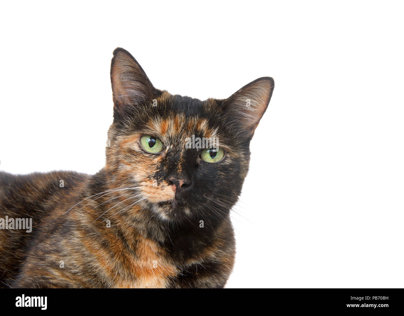 Portrait of a tortie torbie tabby cat with green eyes isolated on white background. Looking directly at viewer Stock Photo