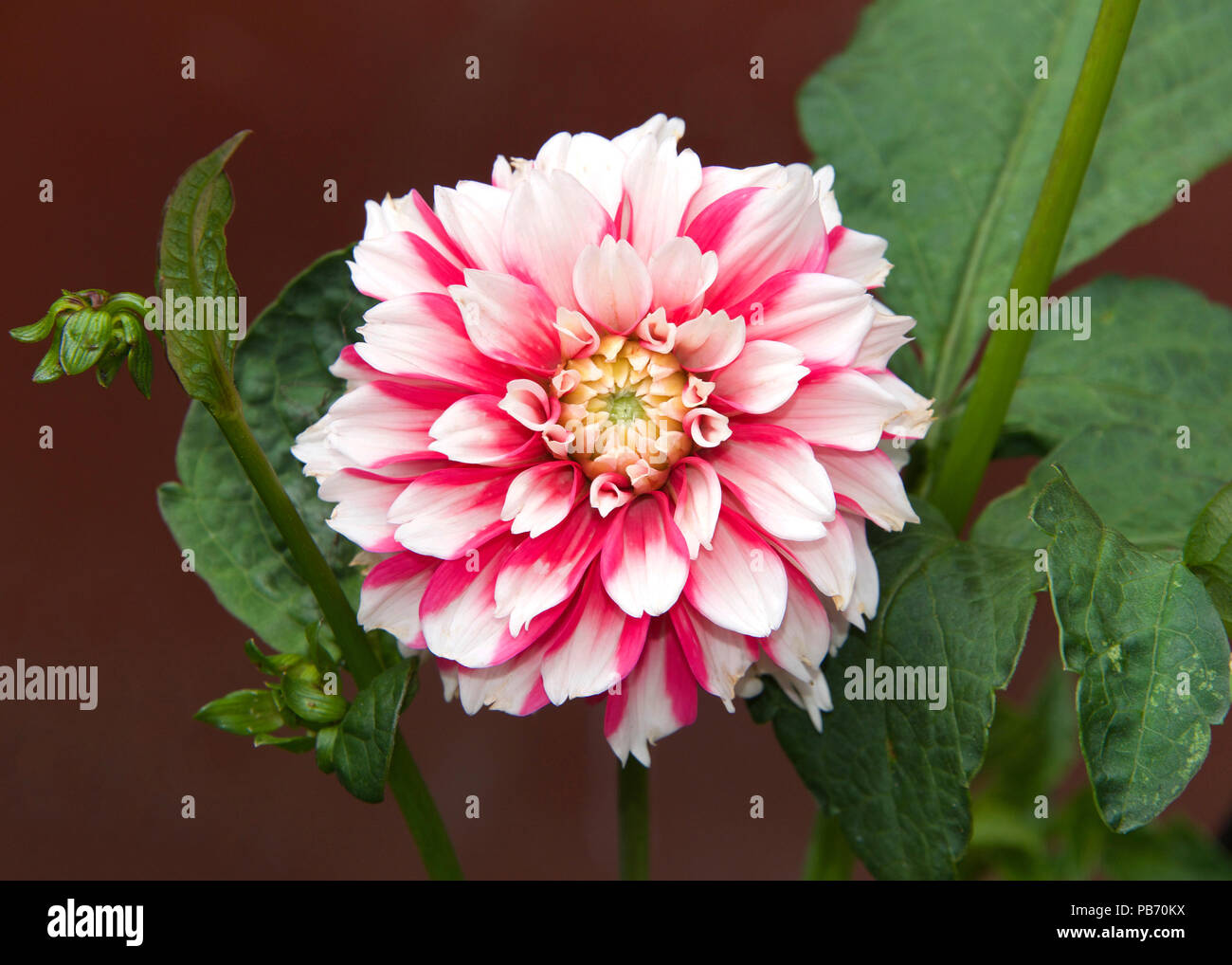 Close up on one dahlia flower bright pink and white dahlia is a close up on one dahlia flower bright pink and white dahlia is a genus of bushy tuberous herbaceous perennial plants native to mexico izmirmasajfo