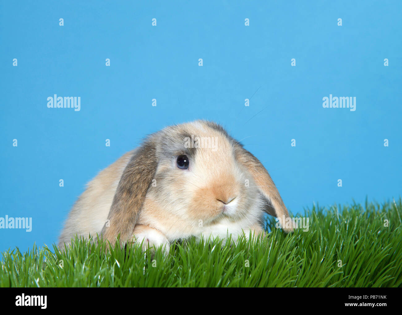 Close up portrait of a diluted calico colored lop eared bunny rabbit