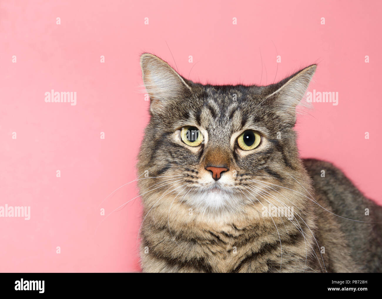 close up portrait of an adorable brown and tan tabby cat looking