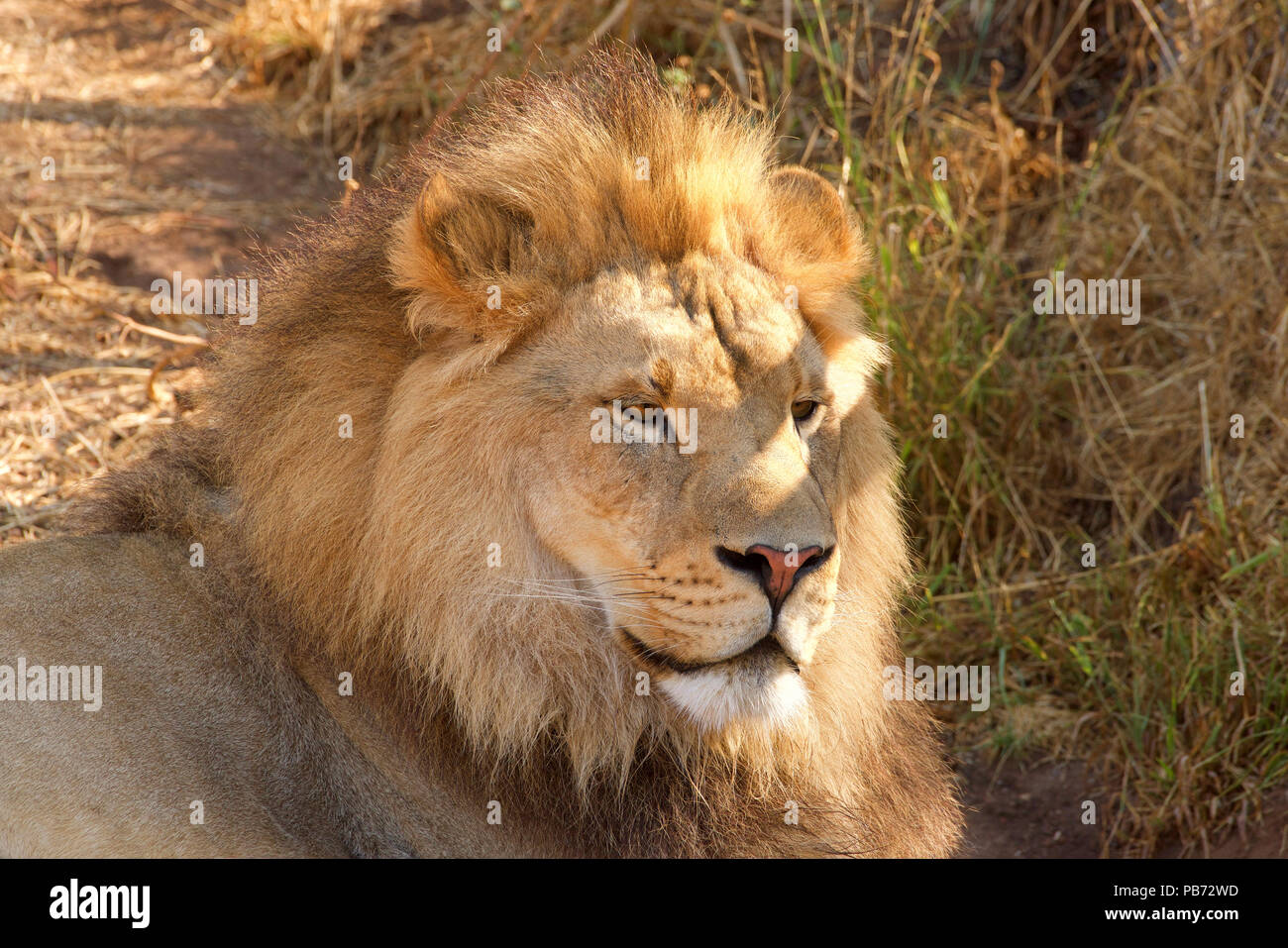 Close up portrait of one young male lion laying in brown grass on a bright sunny hot summer day. Looking to viewers right. - Stock Image