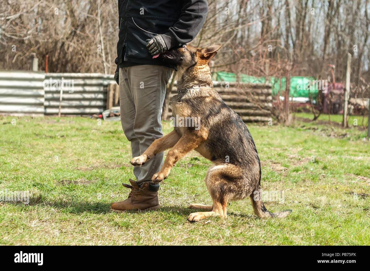A german shepherd puppy trained by a dog trainer in a green environment at a sunny springtime. - Stock Image