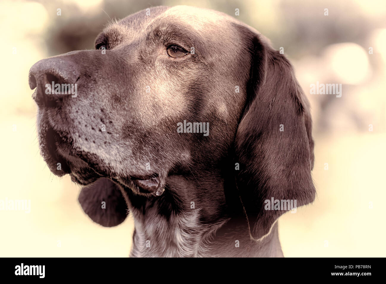 German short-haired pointer dog. Close-up distinguished pedigree pet portrait. Old working dog head in close-up with natural vignette and vintage tone - Stock Image