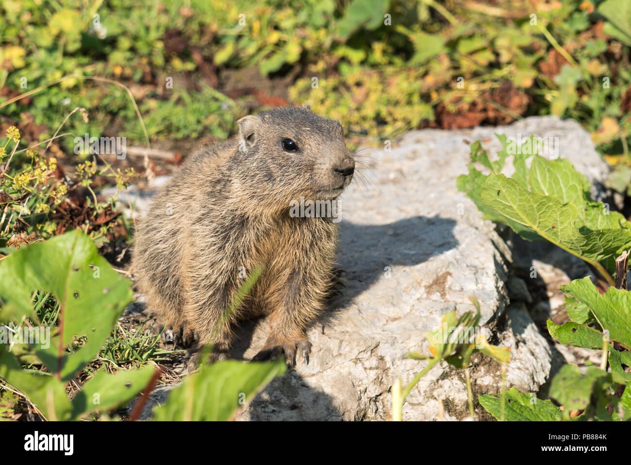 Curious young alpine marmot cub in the European Alps of Malbun, Liechtenstein - Stock Image