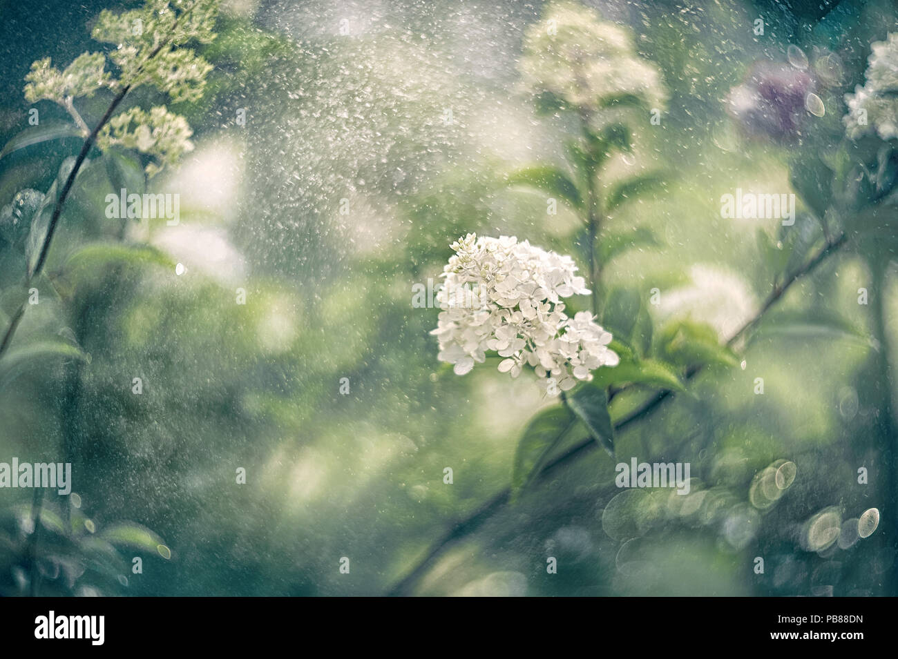Small White Hydrangea Flowers On A Beautiful Artistic