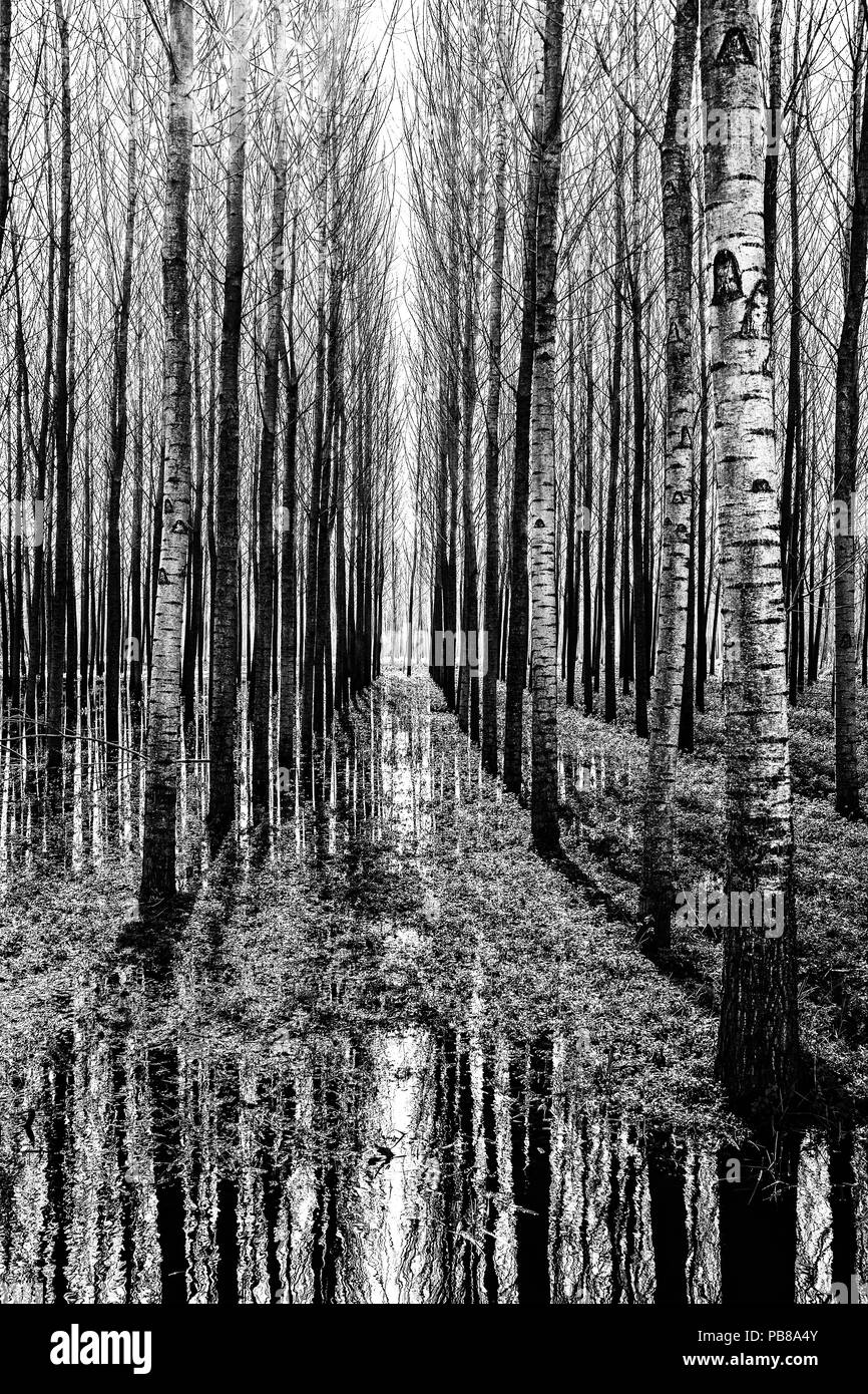 THE SYMMETRIC FOREST-VERTICAL VERSION - Stock Image