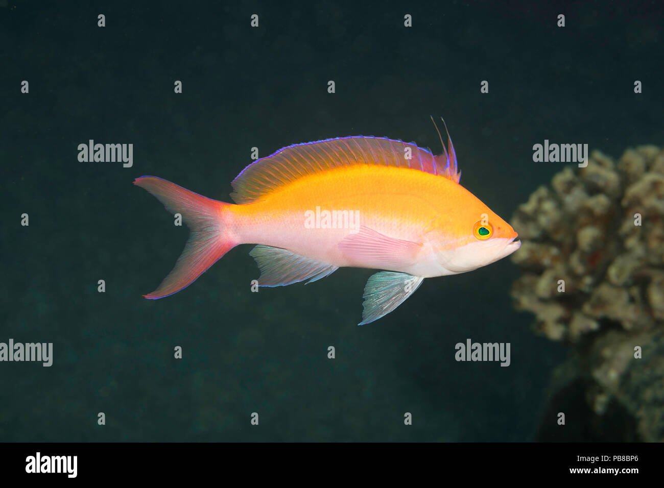 The biclor anthias, Pseudanthias bicolor, is the most common of this family in Hawaii. - Stock Image