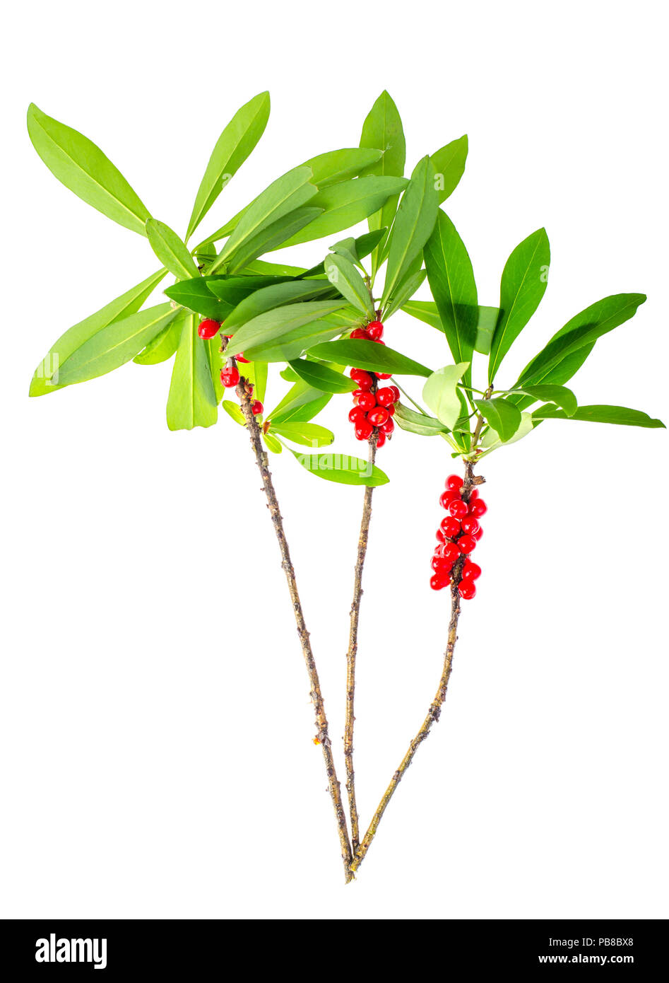 Branch of wild plant with green leaves and red berries. Studio Photo - Stock Image