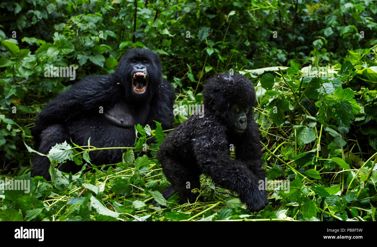 Mountain gorilla (Gorilla gorilla beringei) infant walking watched by a female in the background, member of 'Humba' group. Virunga National Park, Democratic Republic of Congo, March. Stock Photo