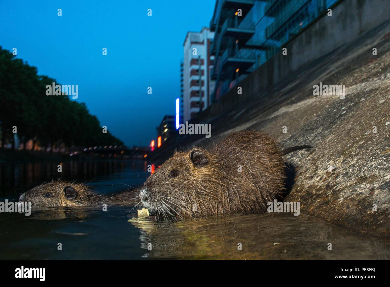Coypu (Myocastor coypus) in river, Strasbourg, France. June. Introduced species. - Stock Image