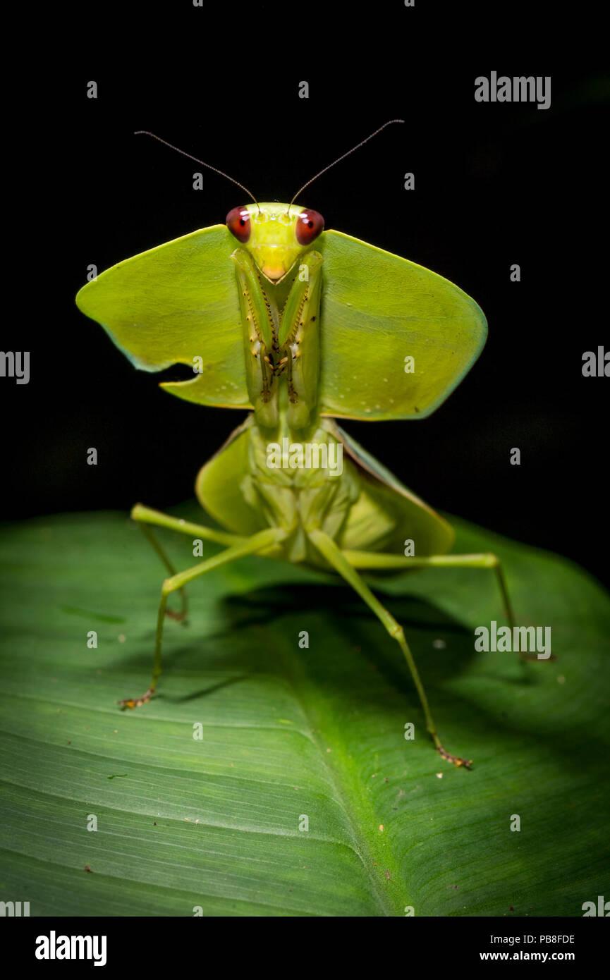Leaf mantis (Choeradodis sp.) Tortuguero National Park, Costa Rica. - Stock Image