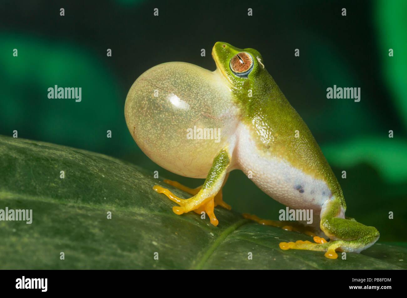 Jayarami Bush frog (Raorchestes jayarami), inflating vocal sac, calling to attract mate, Anamalai Wildlife Sanctuary, India. Endemic to Western Ghats. - Stock Image
