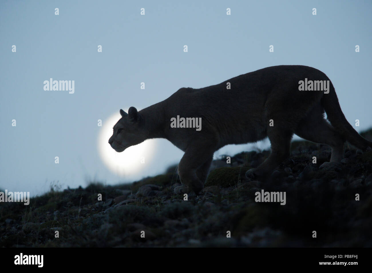 Mountain lion (Puma concolor) silhouetted, Torres del Paine. Patagonia, Puerto Natales, Chile. - Stock Image