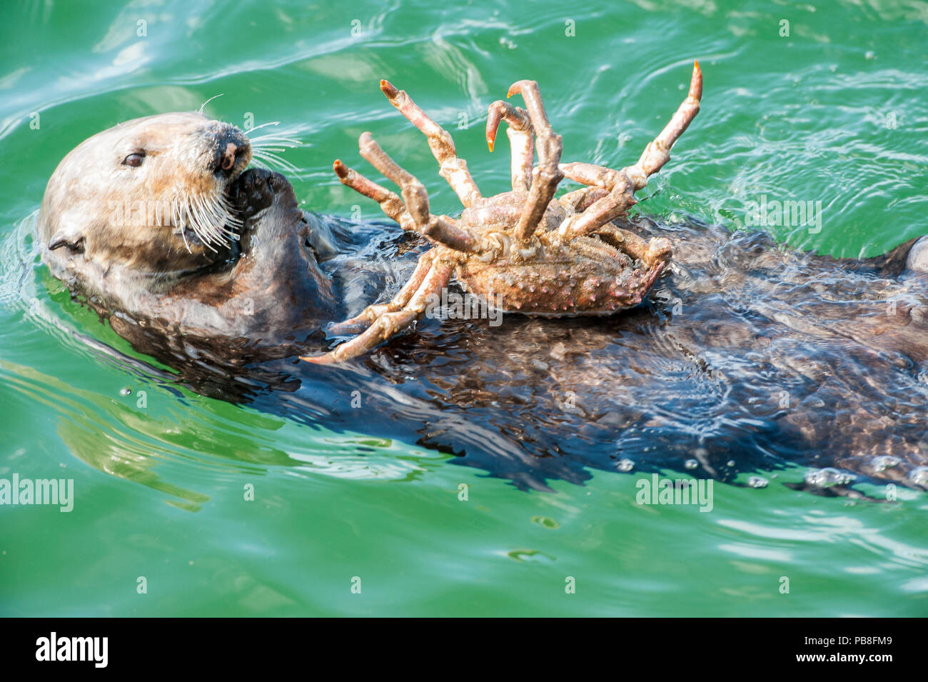 California sea otter (Enhydra lutris) feeding on Northern kelp crab, Monterey Bay, California, USA, Eastern Pacific Ocean, May - Stock Image