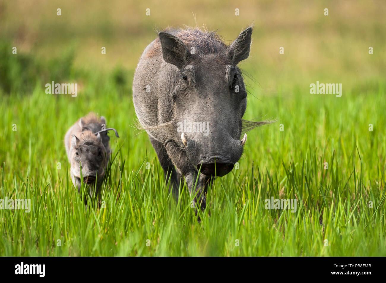 Warthog (Phacochoerus aethiopicus) female with piglets, Okavango Delta, Botswana - Stock Image