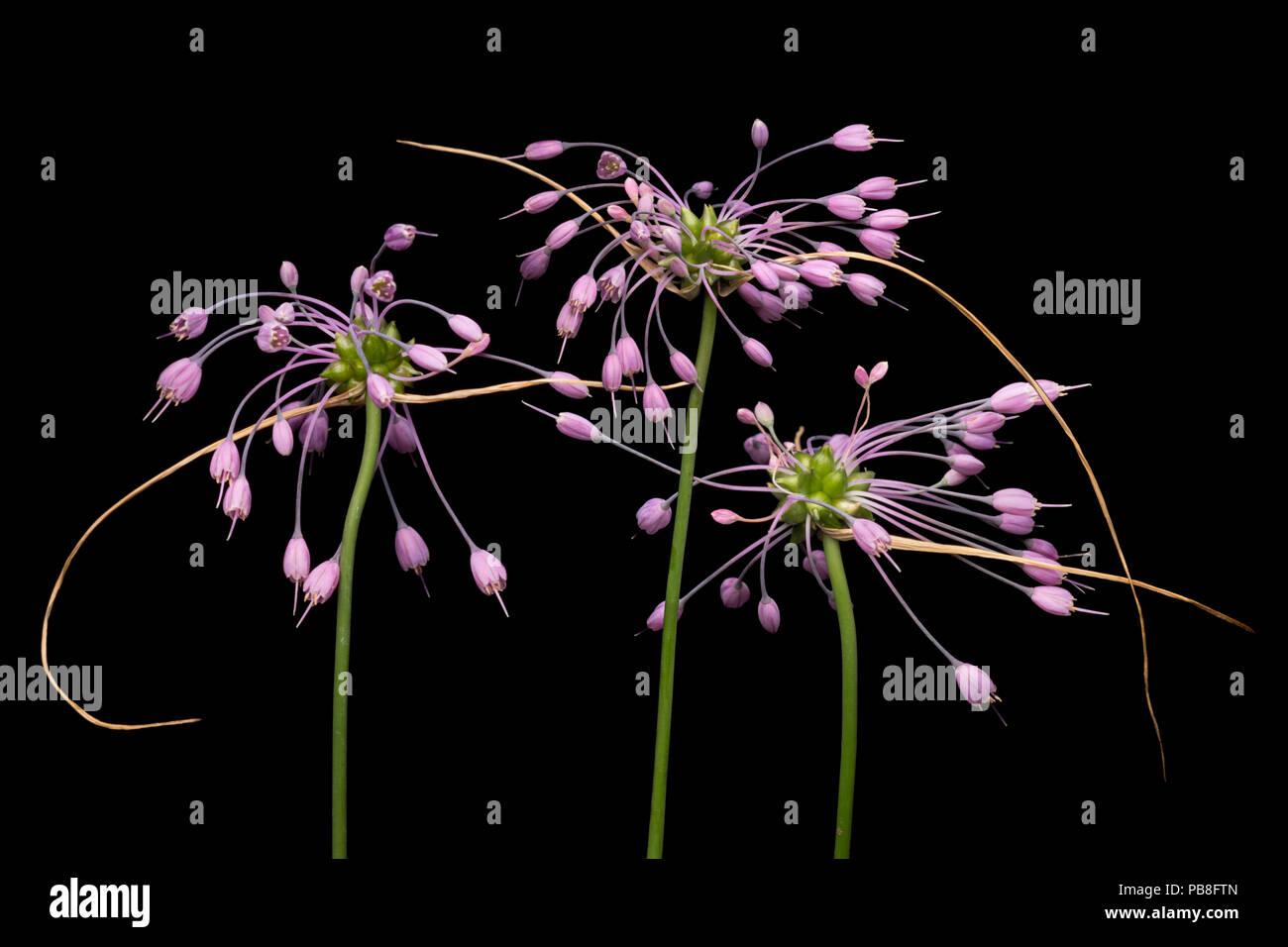 Keeled garlic flowers (Allium carinatum subsp. carinatum) flowers on black background,  Julian Alps, Slovenia. July - Stock Image