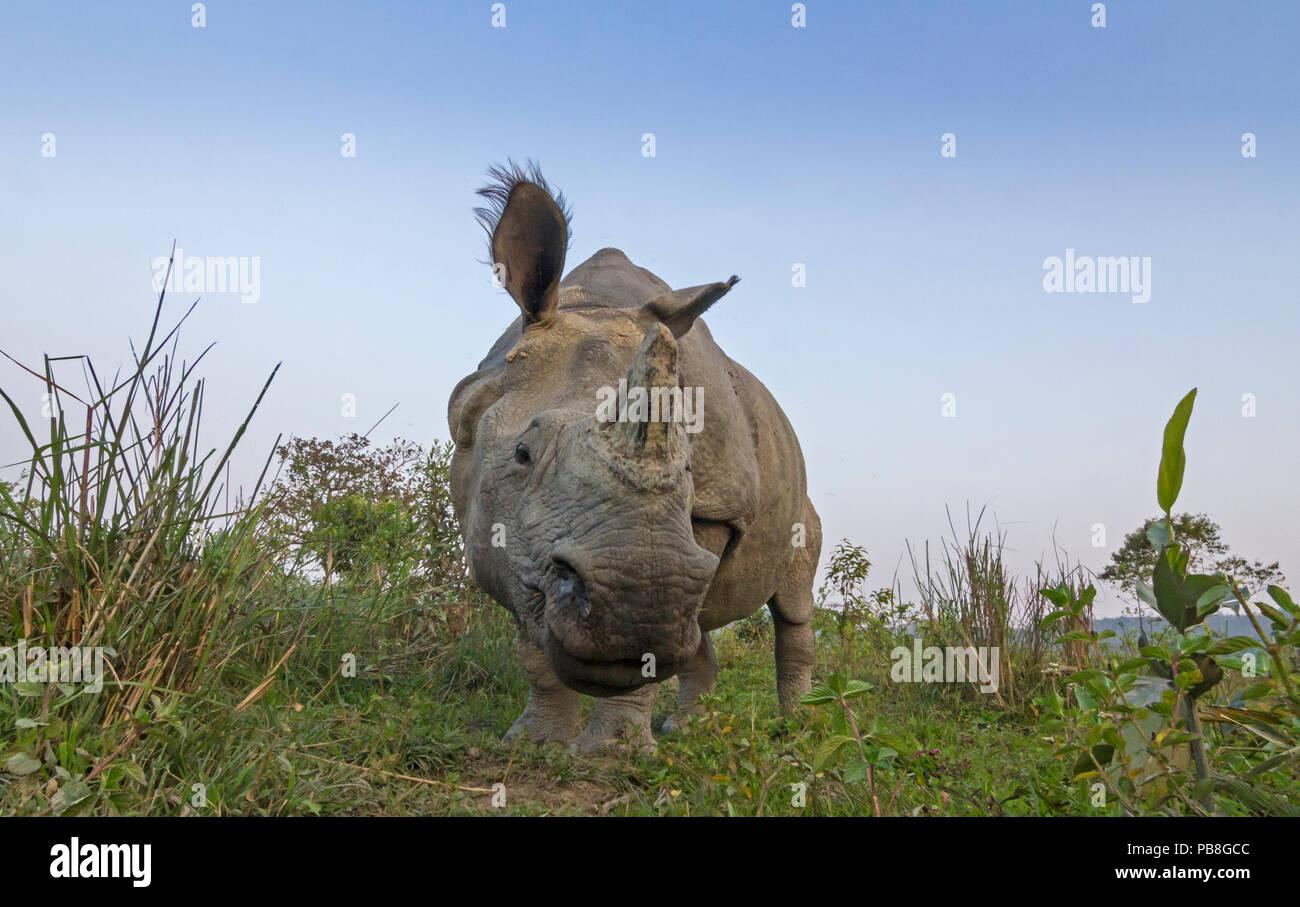 Indian rhinoceros (Rhinoceros unicornis), low angle shot of male, Kaziranga National Park, India. - Stock Image
