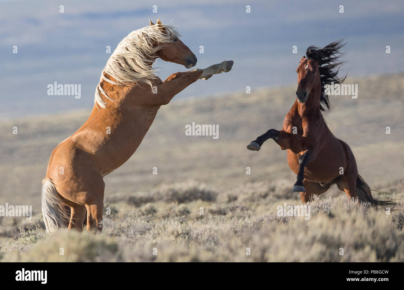 Two wild Mustang stallions fighting in the White Mountain Herd Area, Wyoming, USA. August. Stock Photo