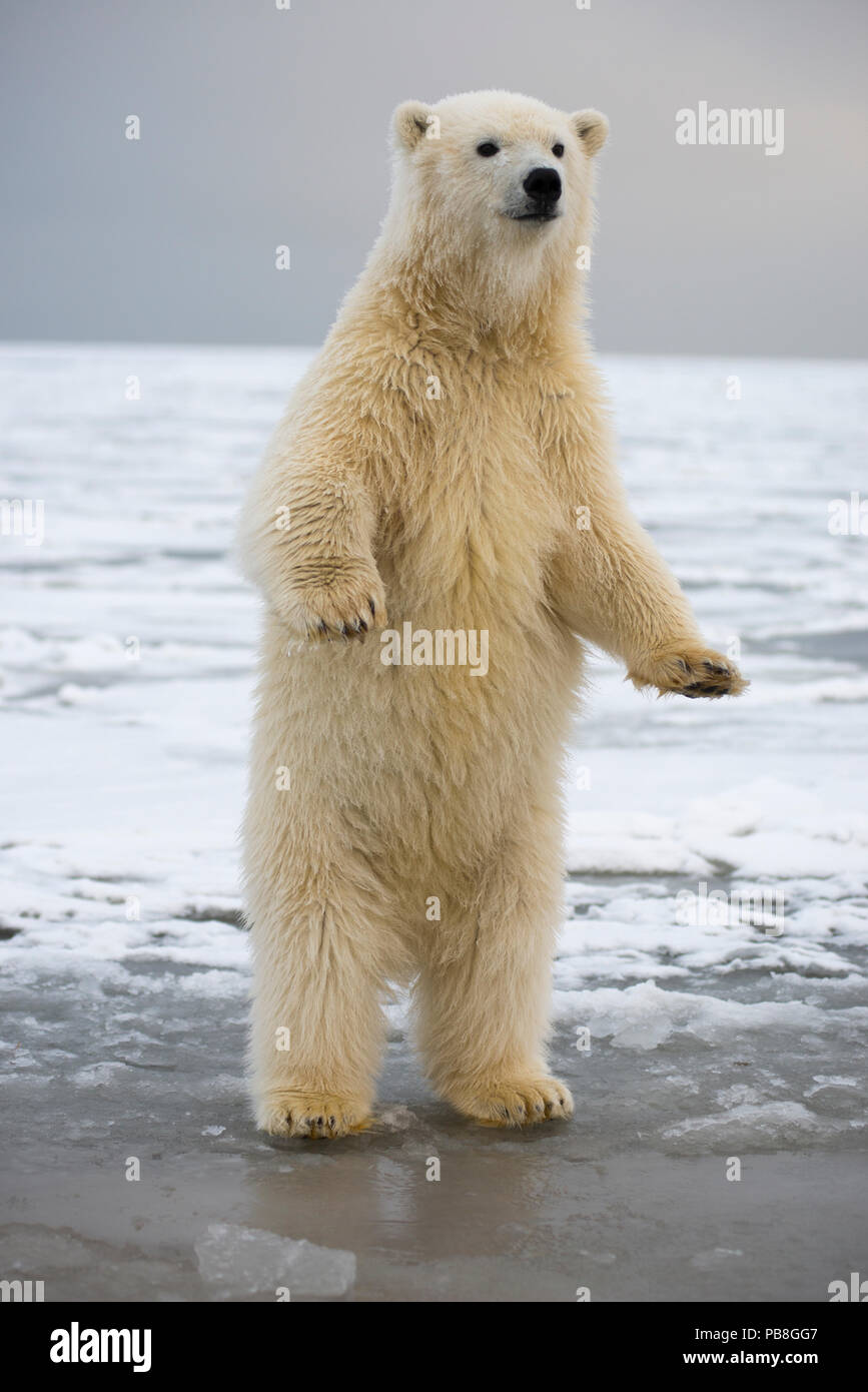 Young Polar bear (Ursus maritimus) standing on hind legs, Bernard Spit, 1002 Area, Arctic National Wildlife Refuge, North Slope, Alaska, USA, October. Vulnerable species. - Stock Image