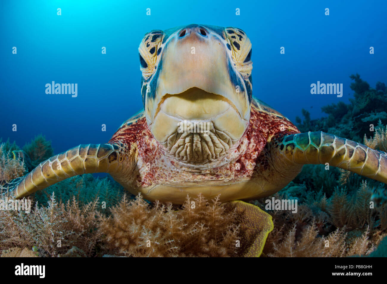 Green sea turtle (Chelonia mydas) female resting on a coral reef. Rock Islands, Palau, Mirconesia. Tropical west Pacific Ocean Stock Photo