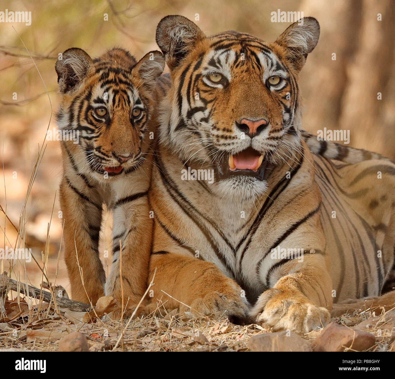 Bengal tiger (Panthera tigris tigris) mother with cub age four months, Ranthambhore, Rajhasthan, India - Stock Image