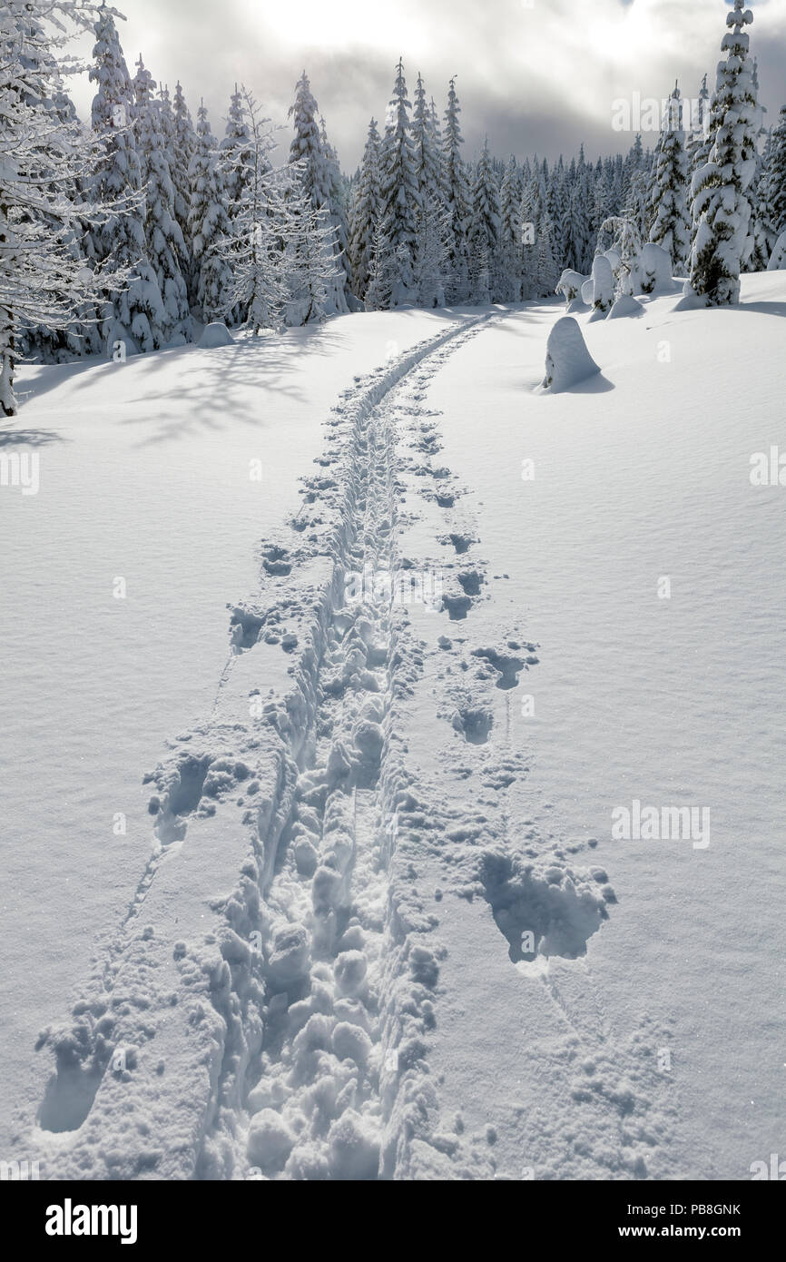 Cross country ski tracks on Amabilis Mountain, Mount Baker-Snoqualmie National Forest, Washington, USA. December - Stock Image