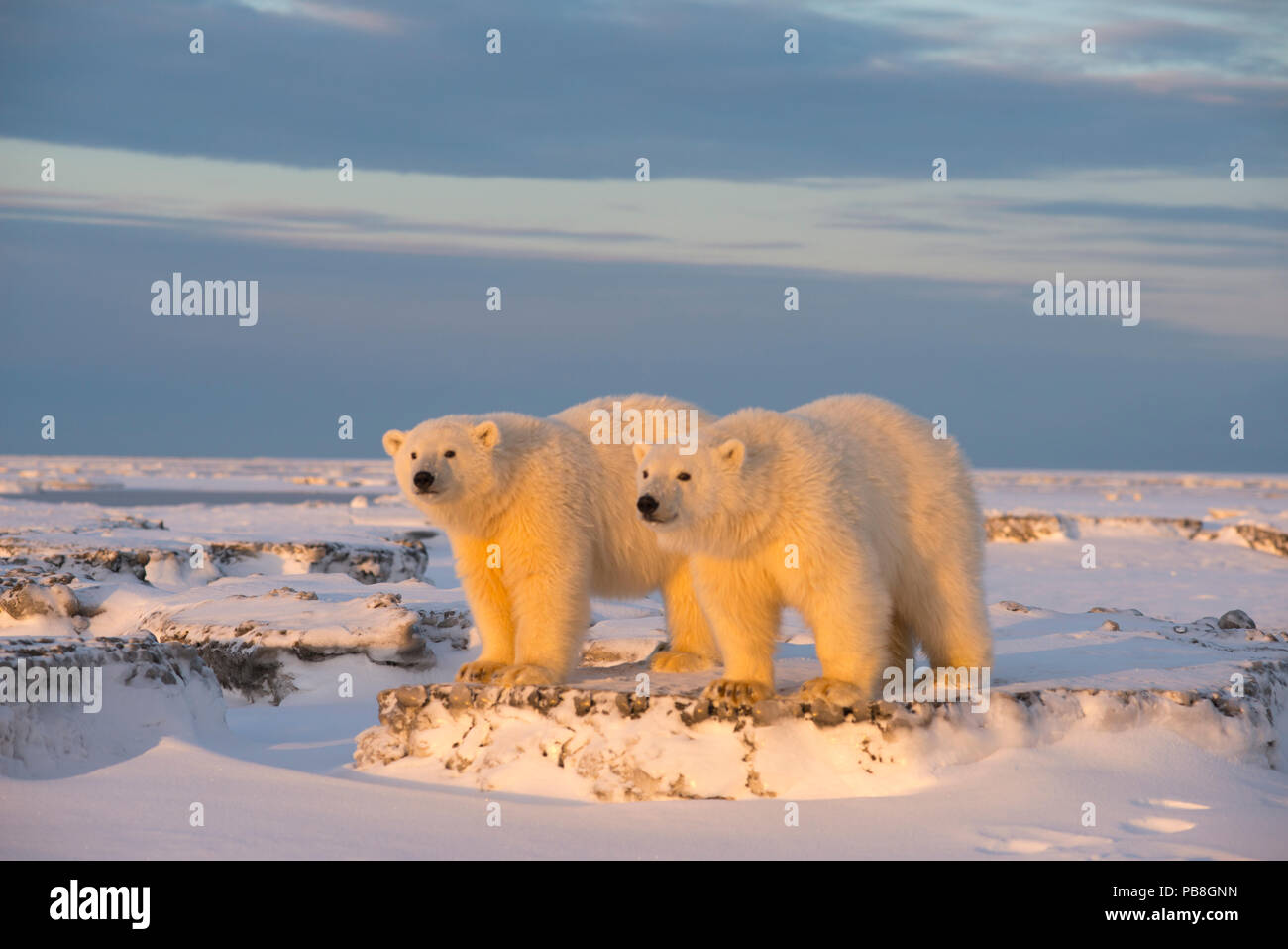 Two young Polar bears (Ursus maritimus) on newly formed pack ice, near Kaktovik, Barter Island, North Slope, Alaska, USA, October. Vulnerable species. - Stock Image