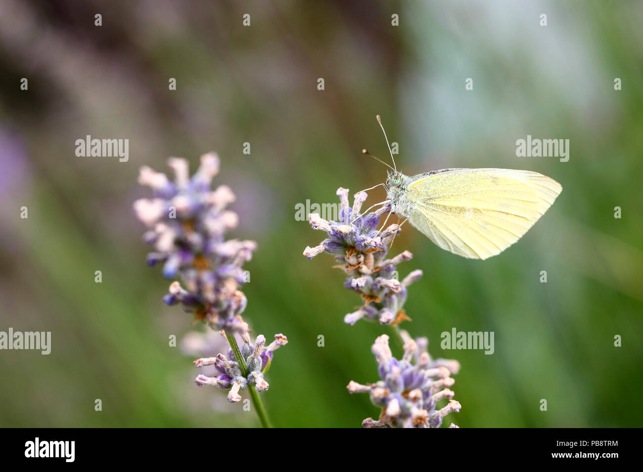 Leeds West Yorkshire UK 27th July 2018. UK Weather: With the forecast for thunder and rain later today in the north of England cabbage white (Pieris rapae)butterflies were making the most of the warm day pollinating lavender (Lavandula) flowers. Credit: Andrew Gardner/Alamy Live News - Stock Image