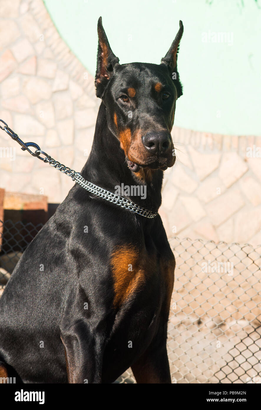 beautiful purebred brown Doberman dog champion sitting in the  outdoors - Stock Image