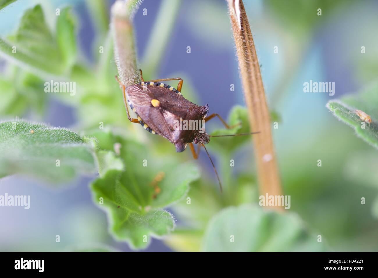 Plant bug (Miridae): a lone leaf bug, mirid bug, plant bug, or grass bug - Stock Image