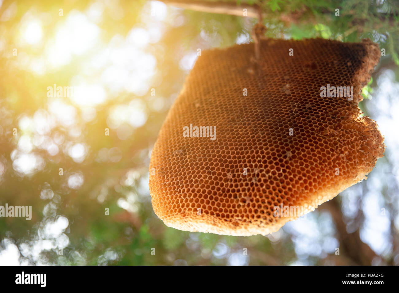 Big Honeycomb or Bee Hive hang on tree nature insect home - Stock Image