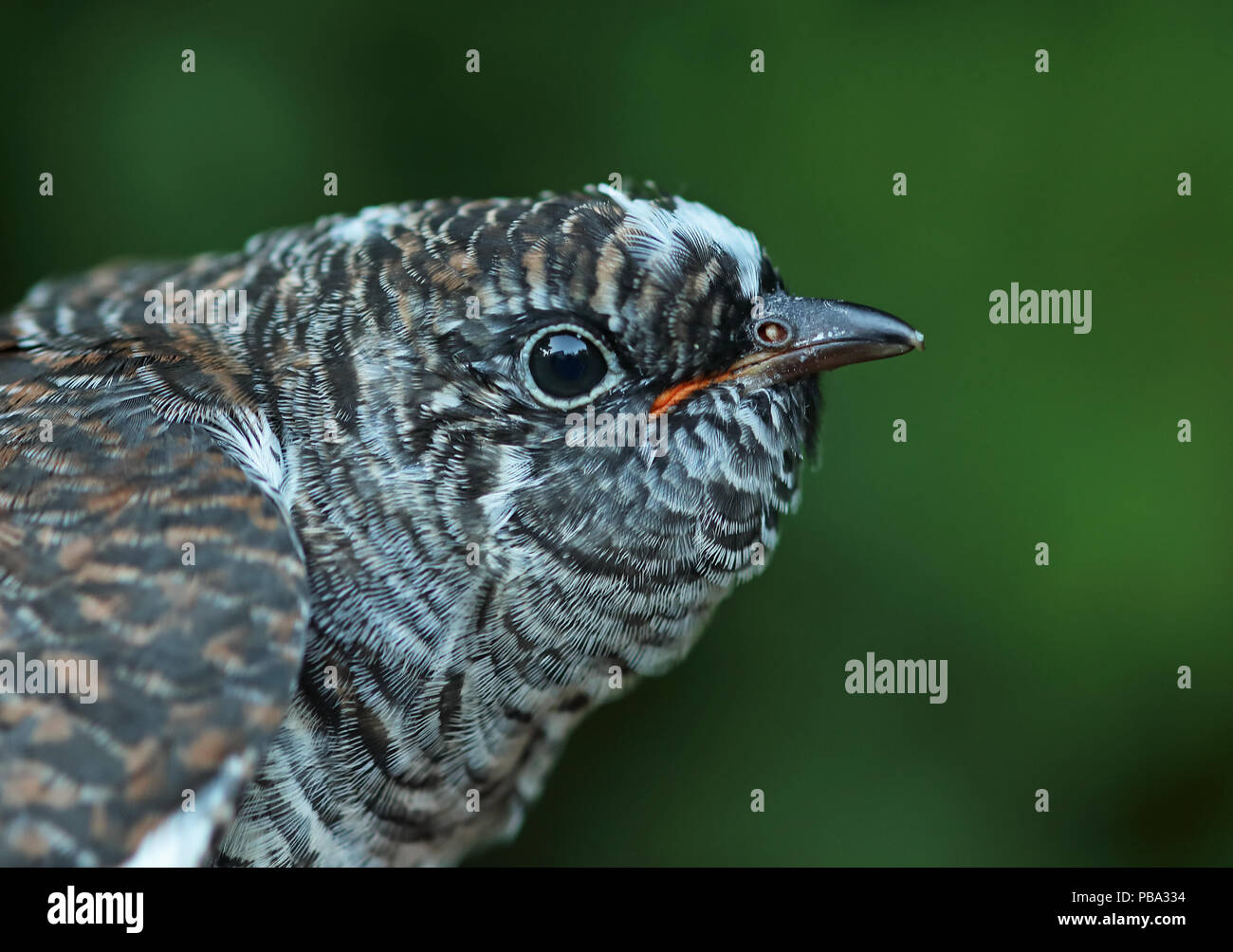Common Cuckoo (Cuculus canorus canorus) close up of head of juvenile  Eccles-on-Sea, Norfolk         June - Stock Image