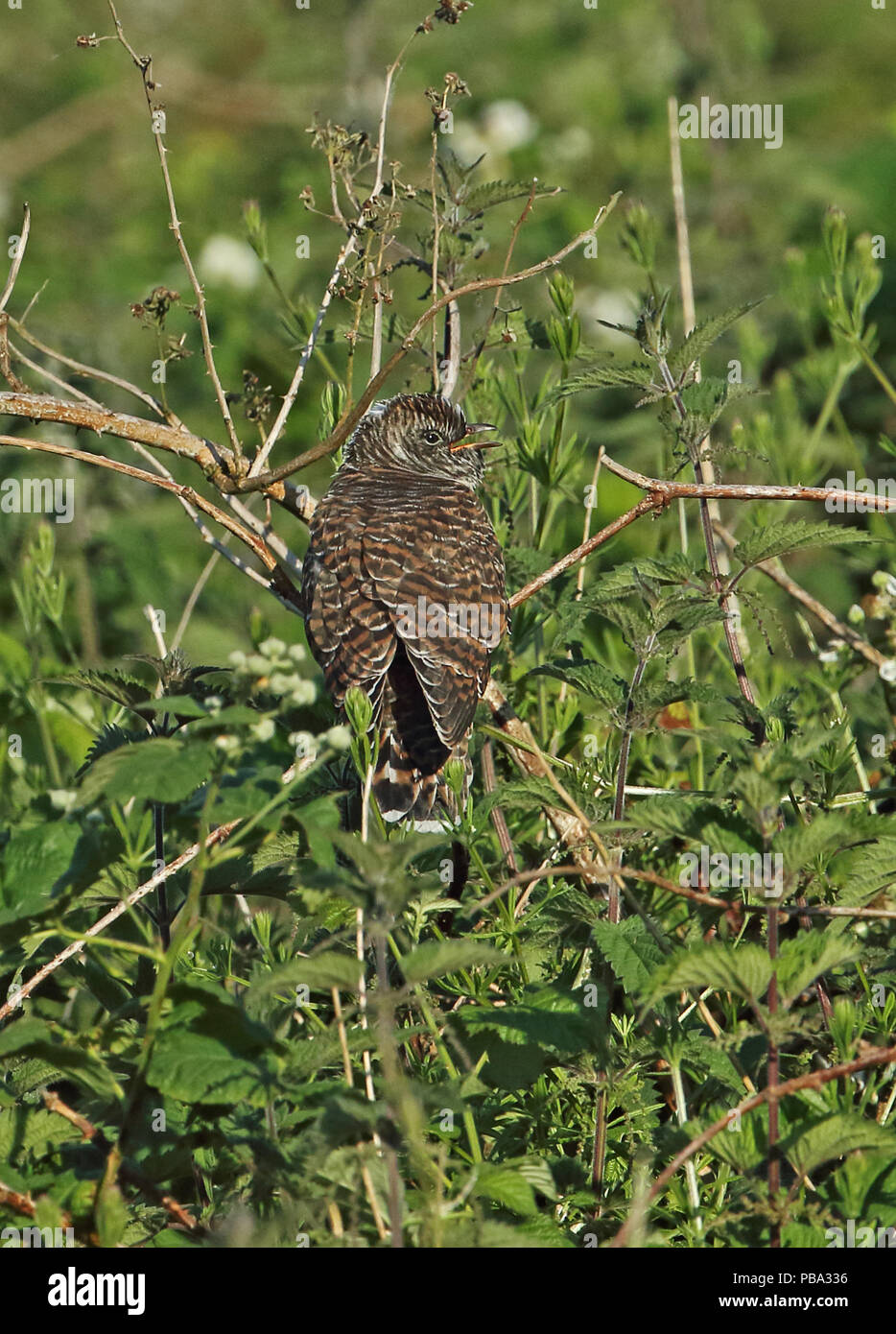 Common Cuckoo (Cuculus canorus canorus) juvenile perched on dead bramble calling  Eccles-on-Sea, Norfolk         June - Stock Image