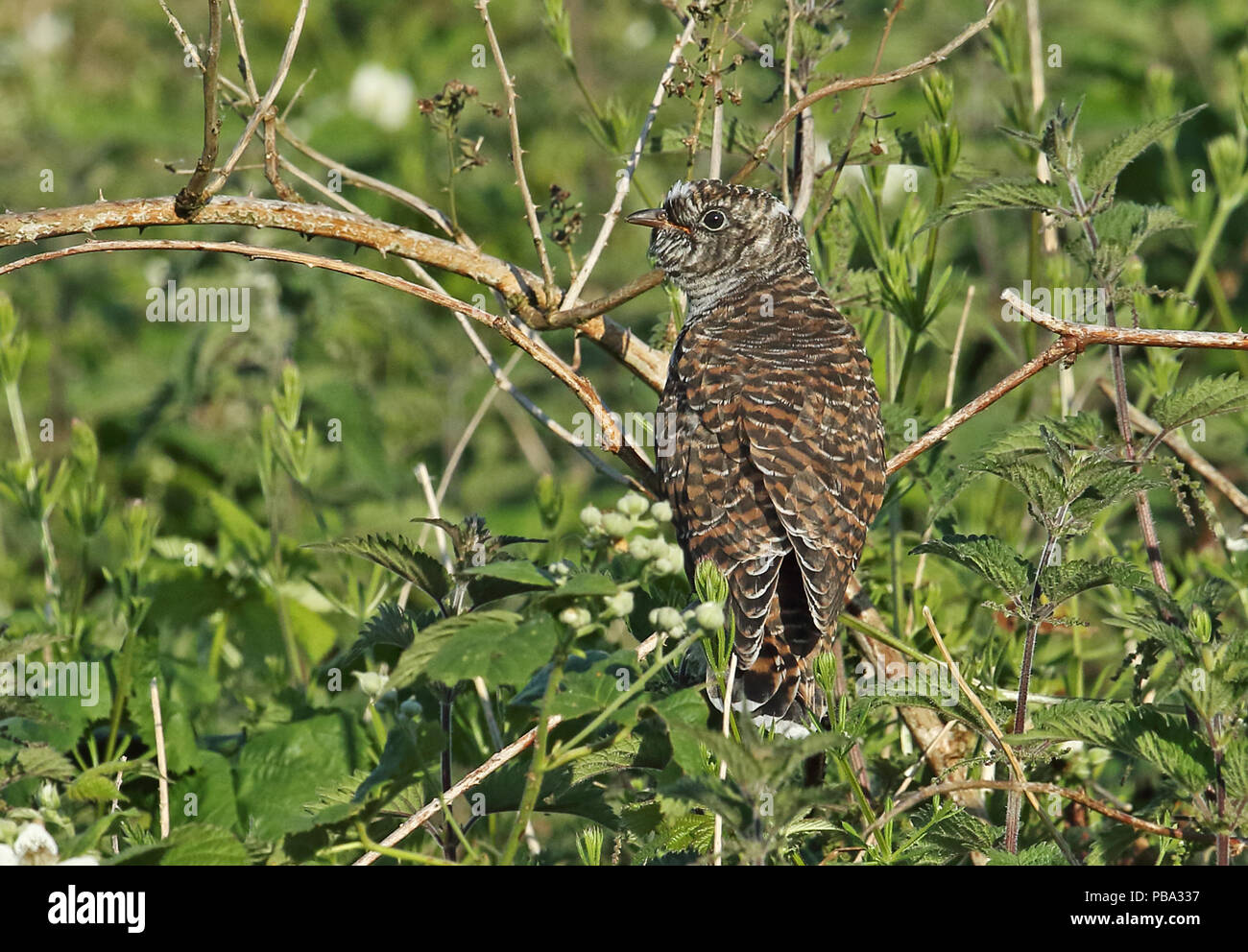 Common Cuckoo (Cuculus canorus canorus) juvenile perched on dead bramble   Eccles-on-Sea, Norfolk         June - Stock Image