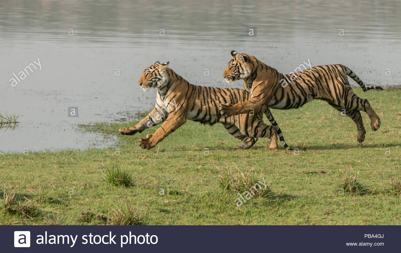 Tiger sisters on the Run! - Stock Image