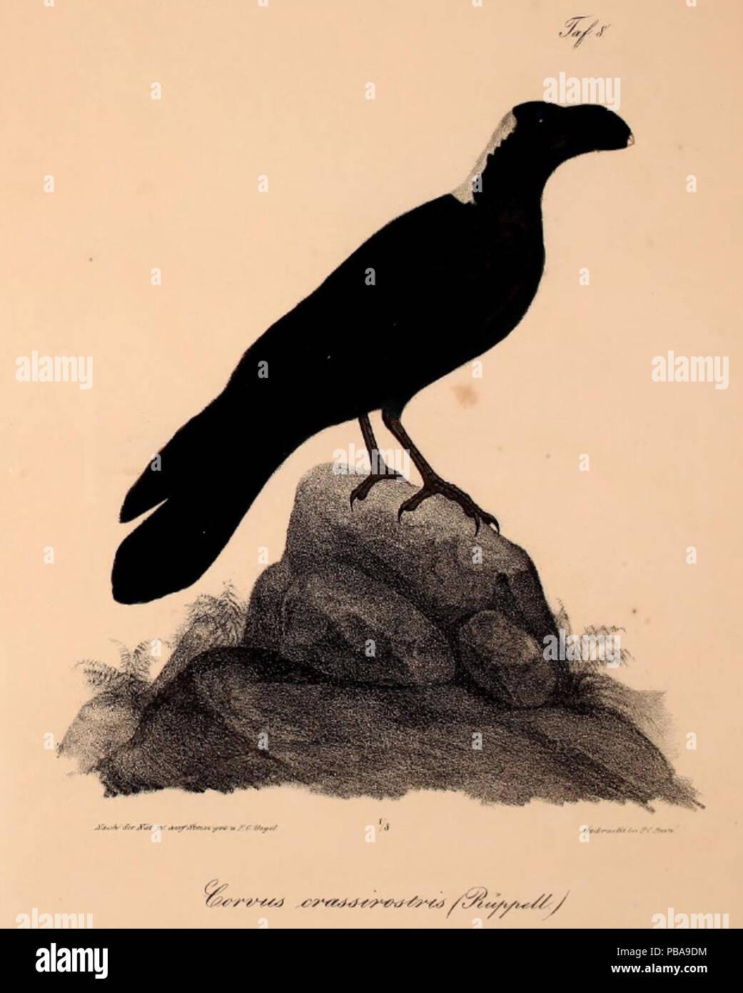 1092 Neue Wirbelthiere zu der Fauna von Abyssinien gehörig (1835) Corvus crassirostris - Stock Image