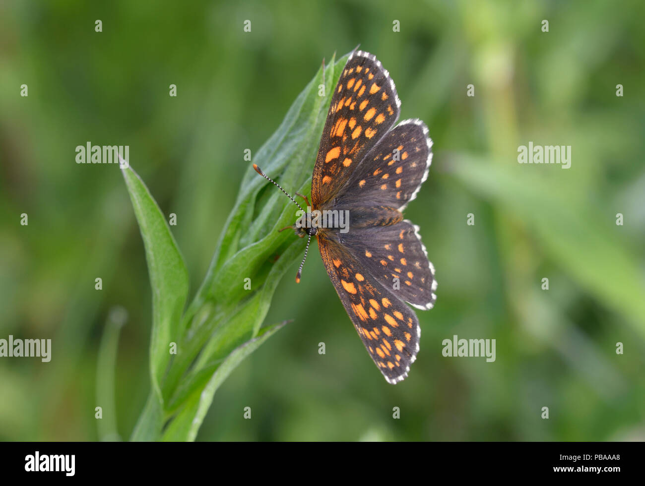 Brush-footed butterfly, Melitaea, sitting on a plant stem in front of a blurred background - Stock Image