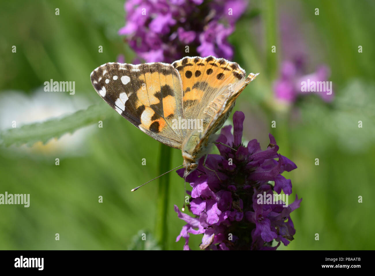 Yellow butterfly with black-spotted wings feeding on nectar from a purple wild flower - Stock Image