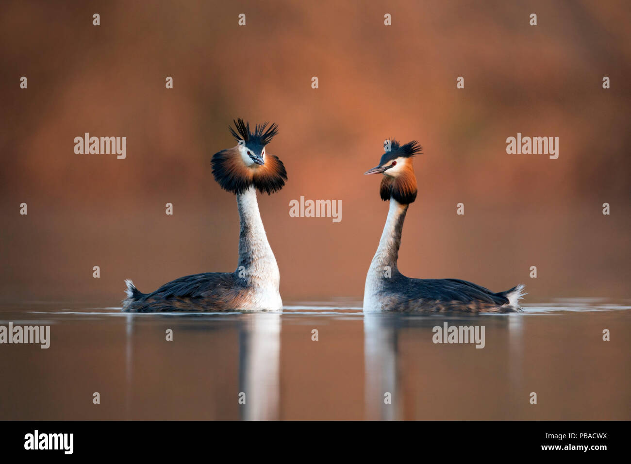 Great crested grebe (Podiceps cristatus) pair performing their courtship dance in which they mimic each other's movements. The Netherlands. April. - Stock Image